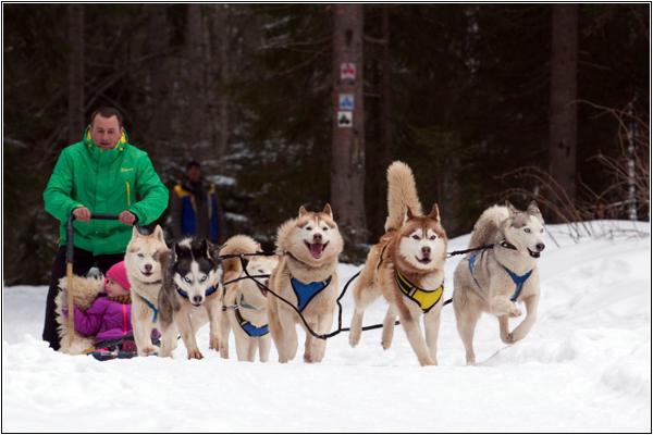 Прогулка на собачьих упряжках в Буковеле